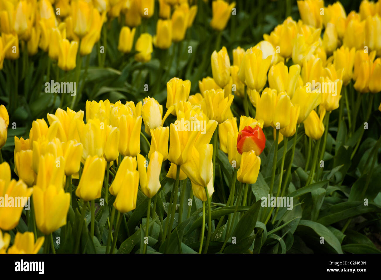 Colorful tulip fields can be seen in the springtime in the Skagit Valley of Washington state. Stock Photo