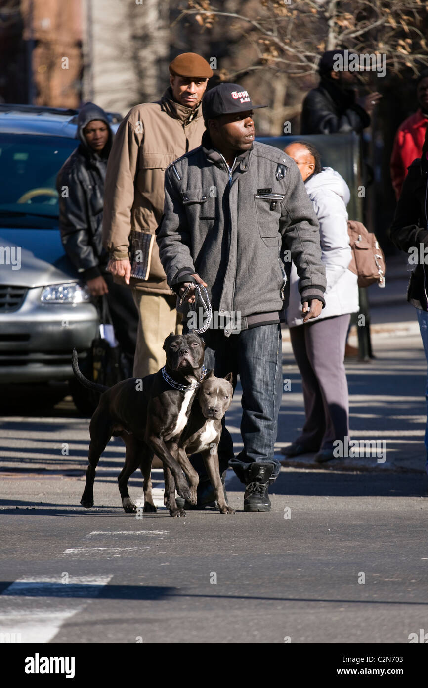 African American Man holding two Pit Bull dogs by a leash whilst crossing a busy Harlem Street in New York City. - Stock Image