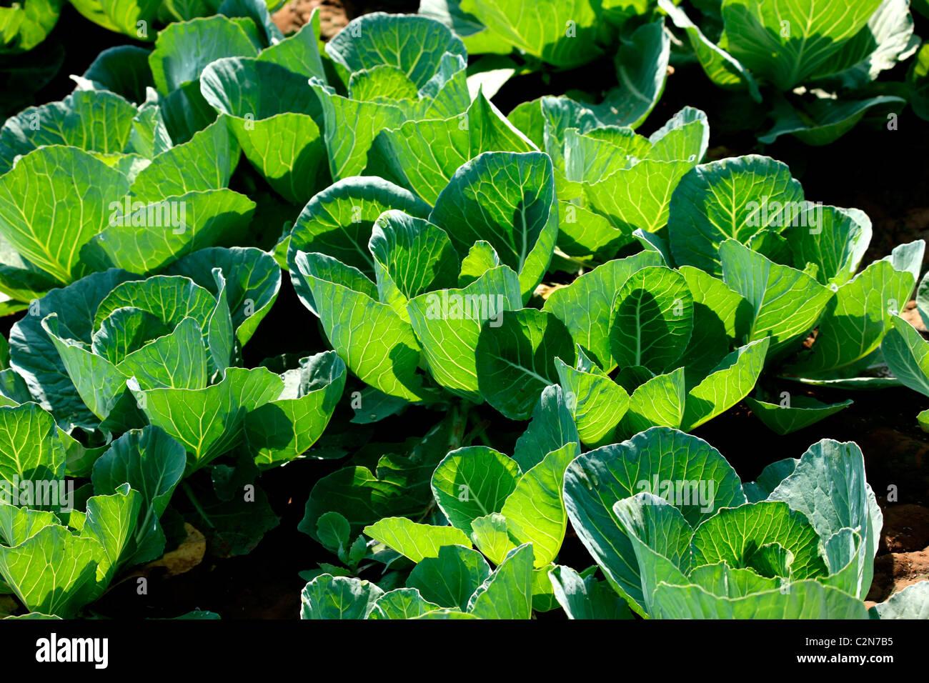Cauliflower cultivation-kitchen garden - Stock Image