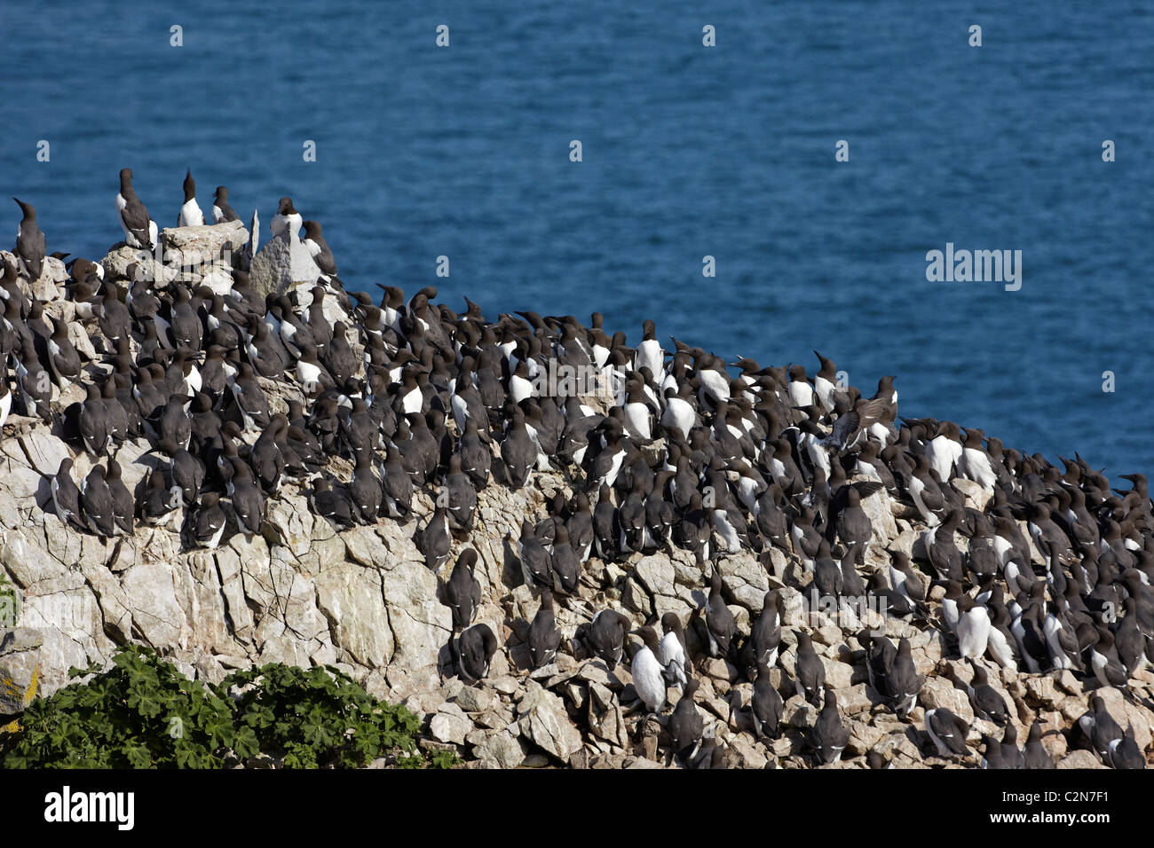 Guillemots (Uria aalge) on top of Stack Rock, Pembrokeshire Coast, Wales, UK - Stock Image