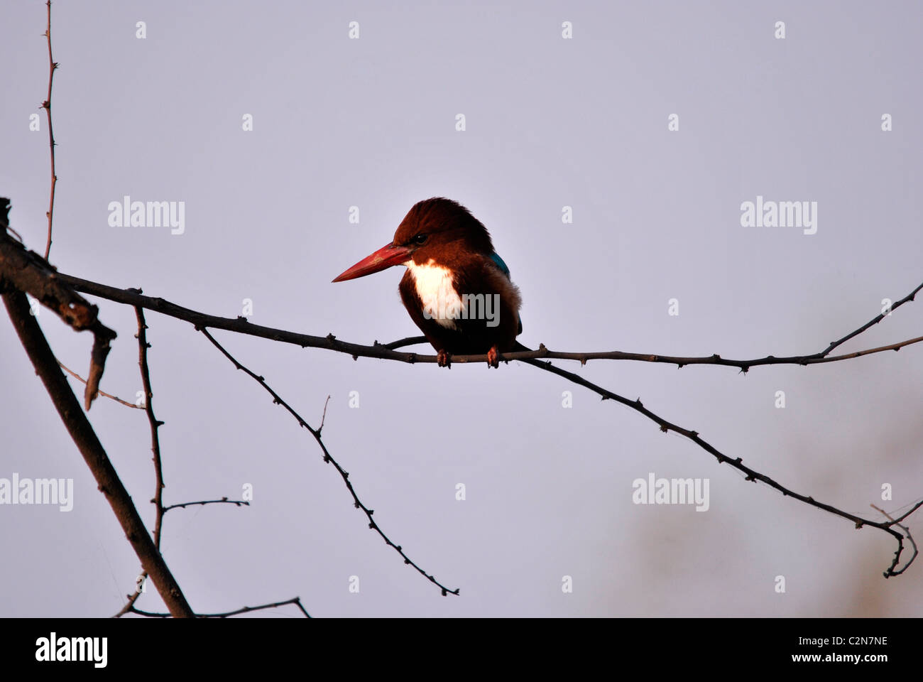 Kingfisher Bird - Stock Image