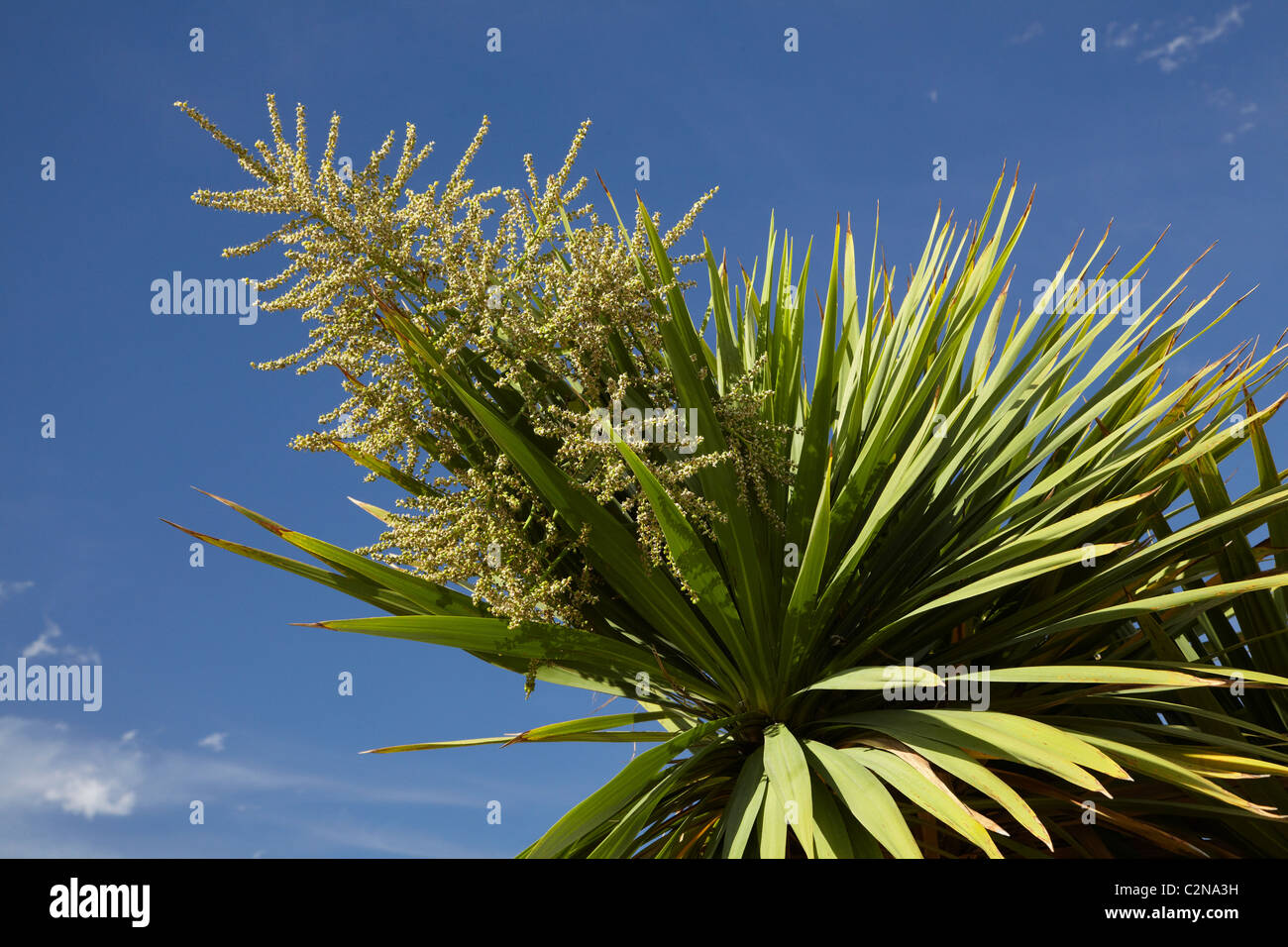 Cabbage Tree In Flower Cordyline Australis Central Otago South Stock Photo Alamy