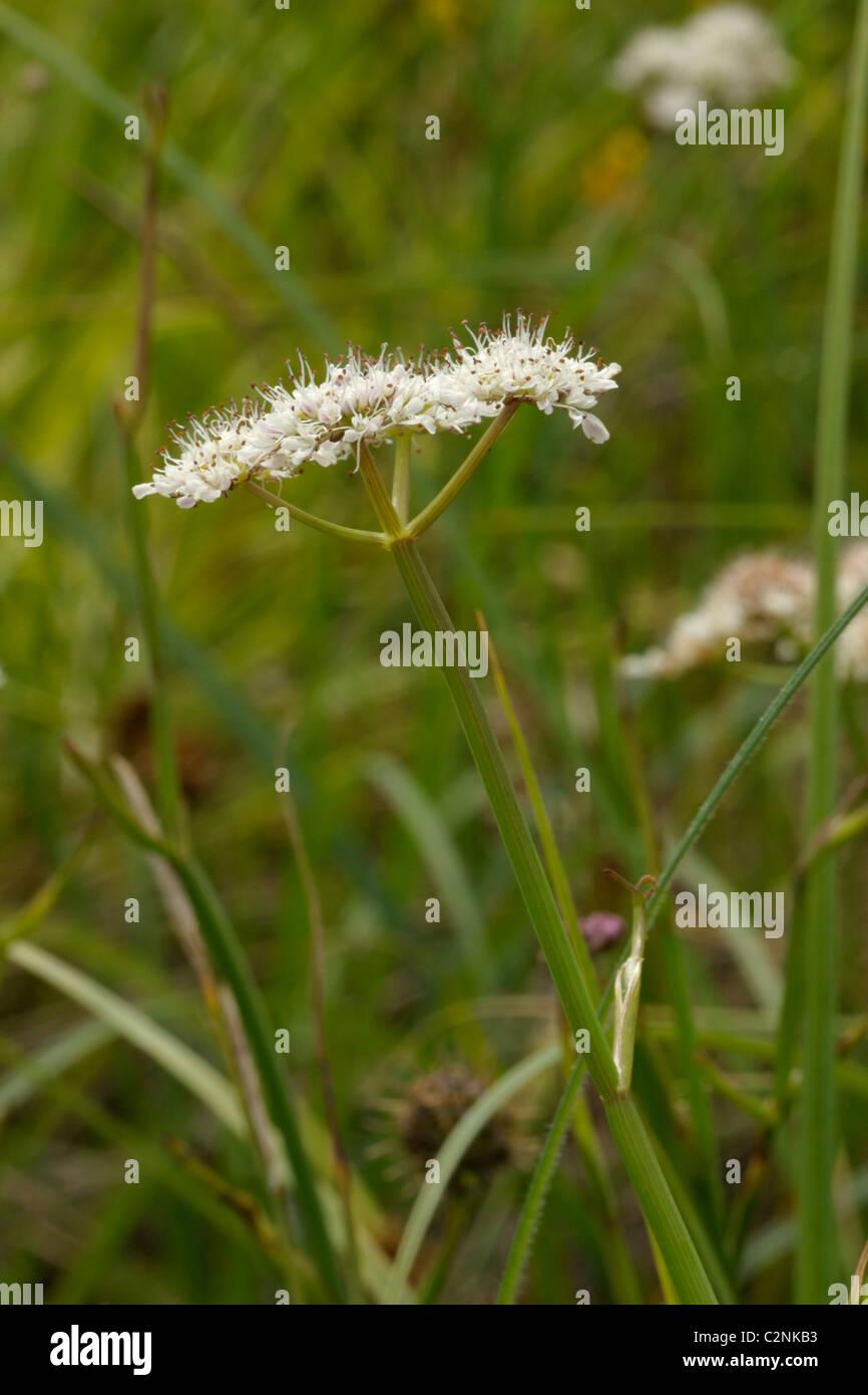 Tubular Water-dropwort, oenanthe fistulosa - Stock Image