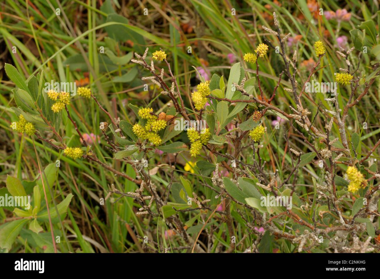 Bog-myrtle, myrica gale - Stock Image