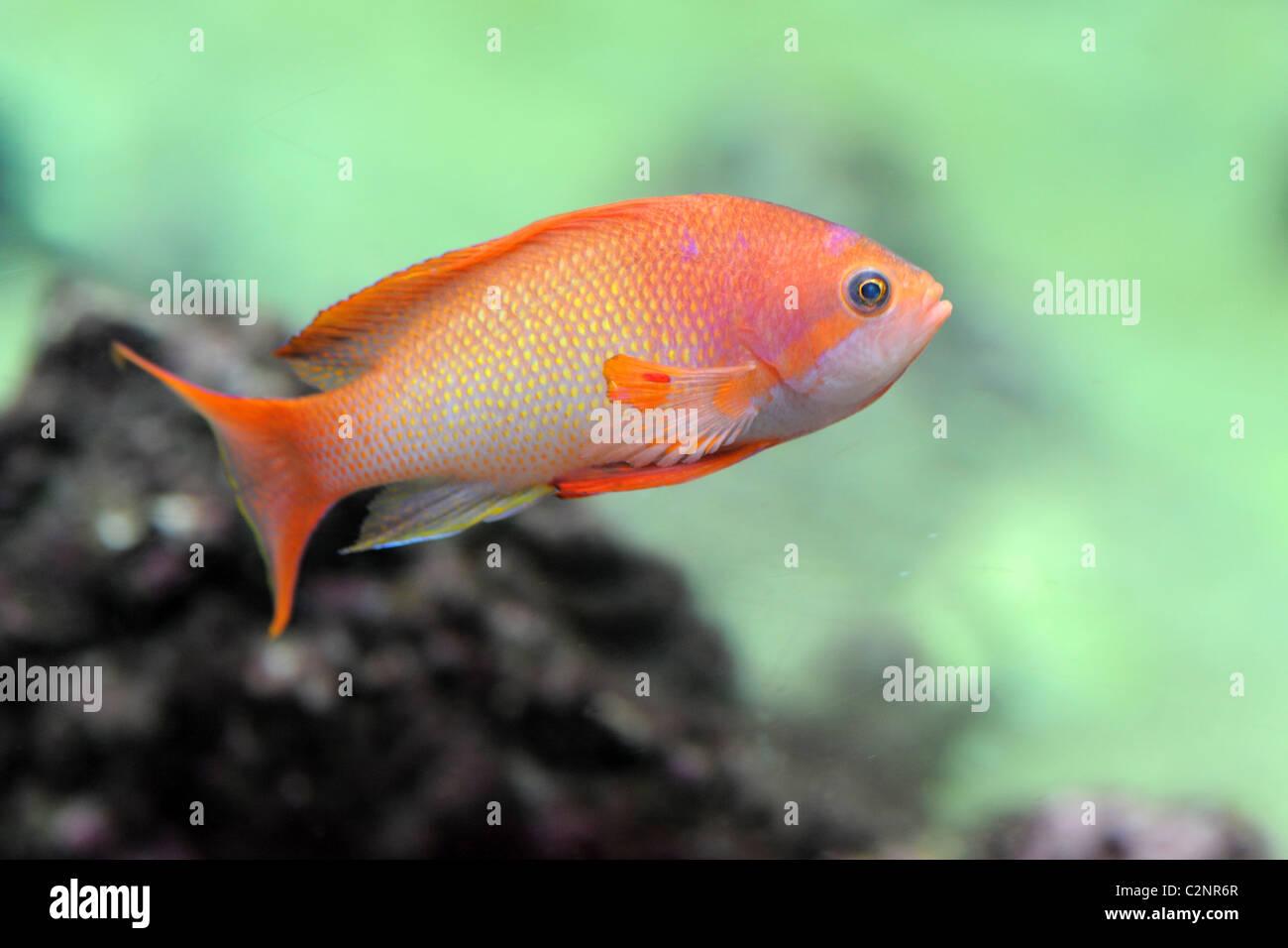 orange Anthias fish in a natural background - Stock Image