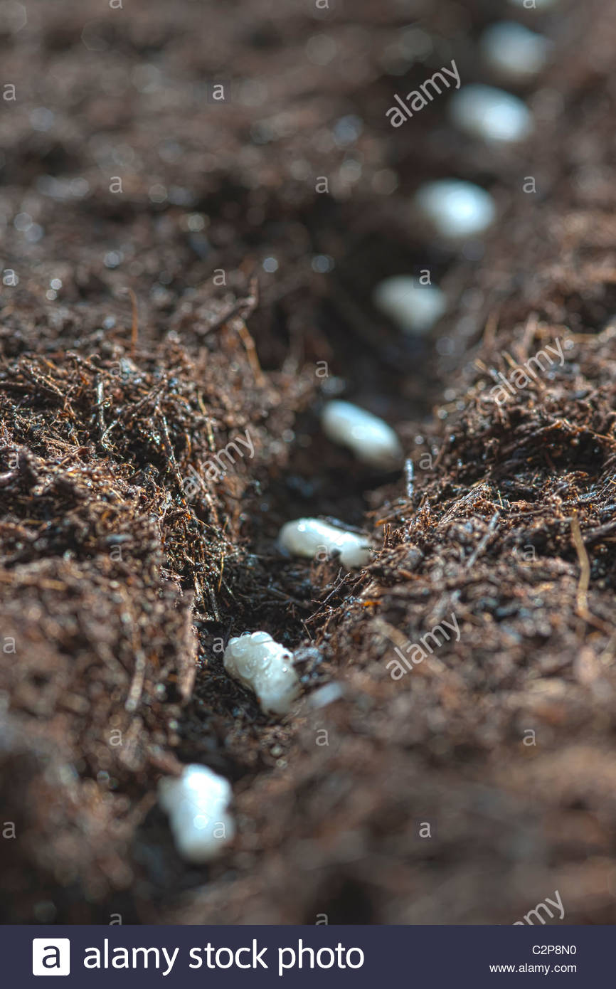 sow sowing row of dwarf French beans drill soil practical home grown edible spring soil April kitchen garden plant - Stock Image