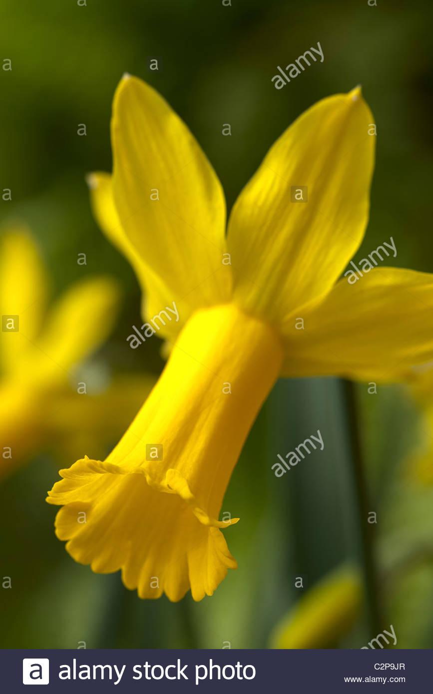 Cyclamineus Daffodil Narcissus Tweety Bird Spring Bulb Flower Yellow