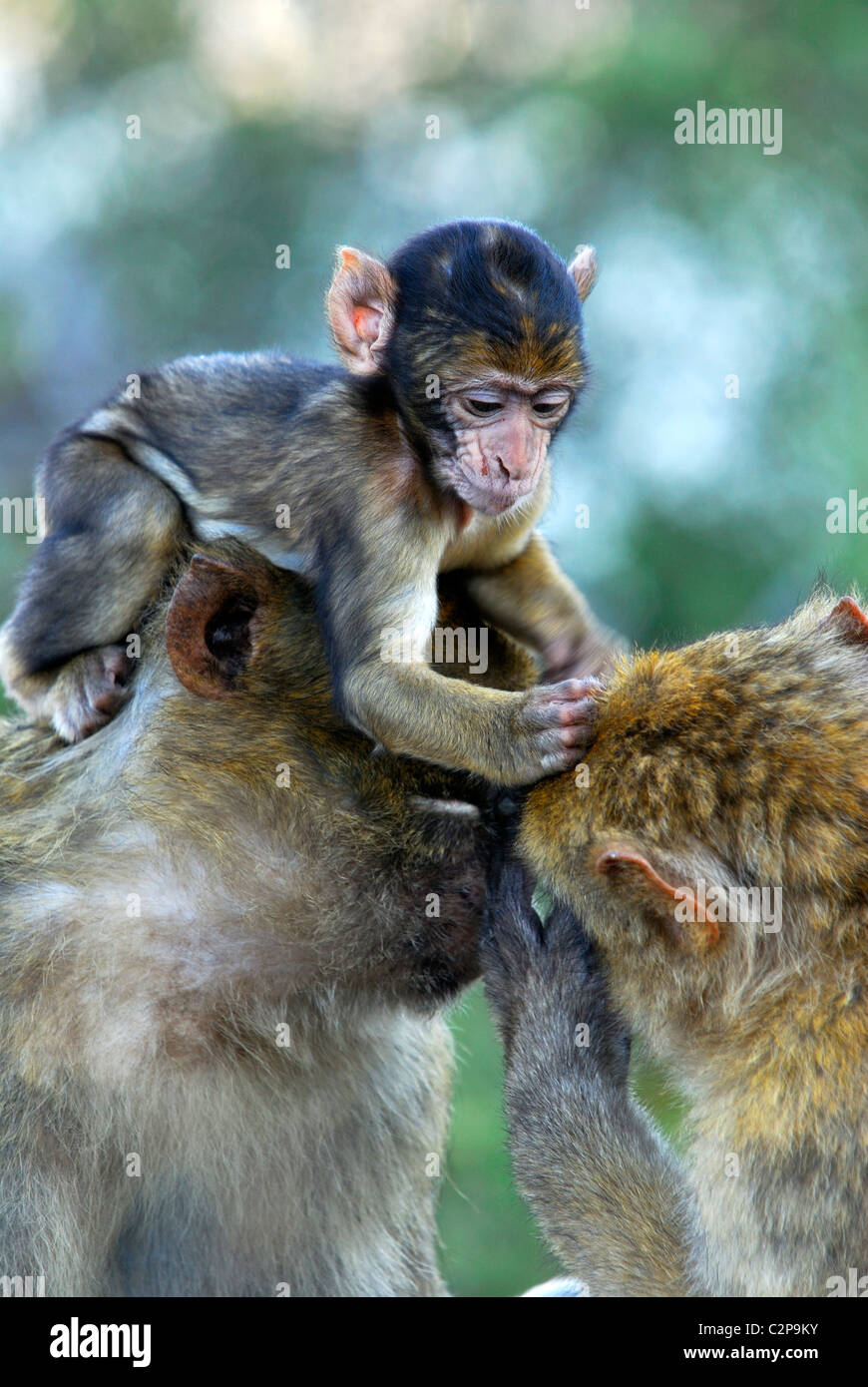 Baby Barbary Macaque sitting on it's mothers head preening another macaques fur for fleas - Stock Image