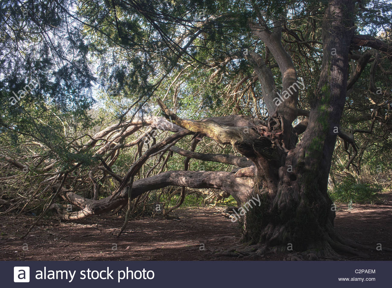 Kingsley Vale Sussex England ancient yew tree growing forest woodland 2000 years old Taxus baccata Spring March - Stock Image