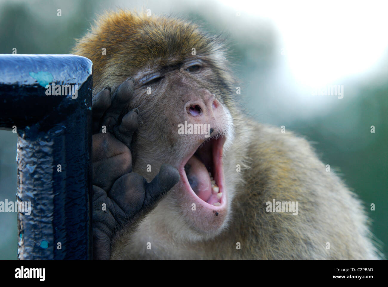 Adult Barbary Macaque with hand on it's cheek howling - Stock Image