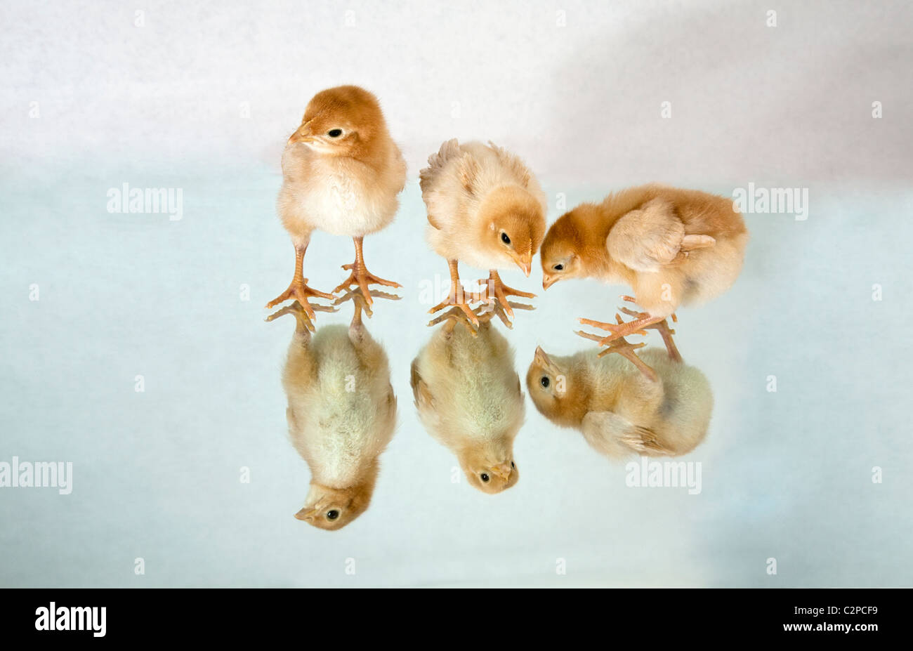 Baby sexlink chicks or chickens - Stock Image