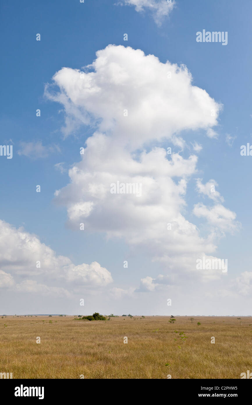 Everglades, Florida. Sawgrass habitat with scattered bald cypress trees and cumulus clouds - Stock Image
