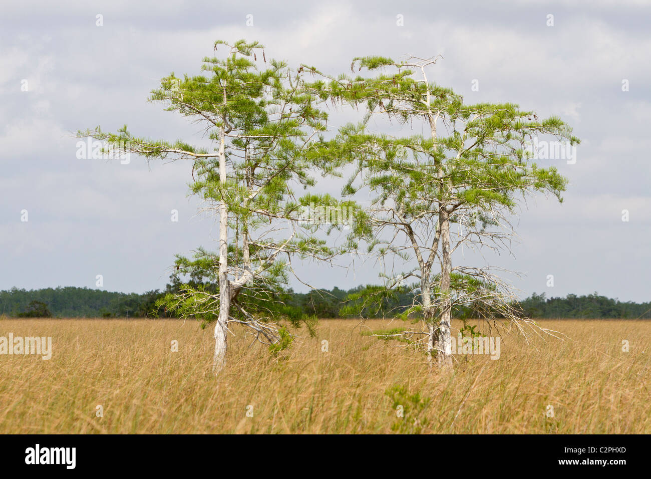 Everglades, Florida. Sawgrass habitat with young bald cypress trees - Stock Image