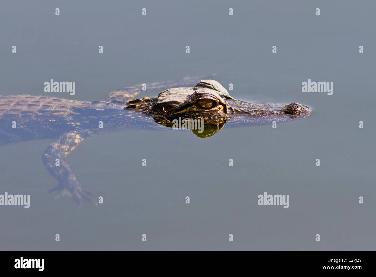 Young alligator, Alligator mississippiensis, floating at the surface. Everglades National Park, Florida, USA Stock Photo