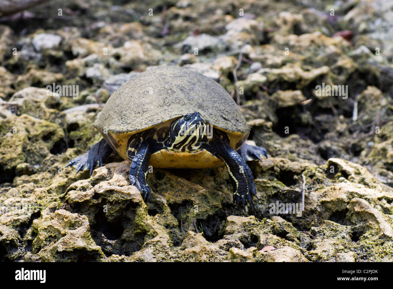 Florida red-bellied turtle, Pseudemys nelsoni, Big Cypress Swamp, Florida, USA Stock Photo