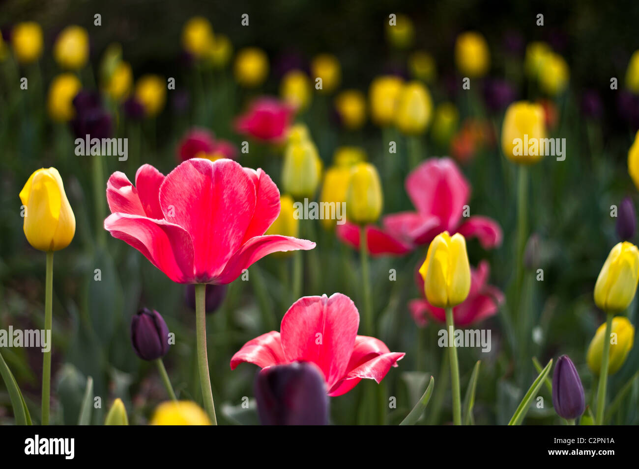 Tulips (tulipa) in spring - Stock Image