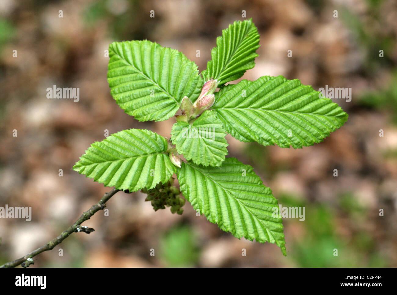 Fresh Young Leaves of the European Hornbeam, Carpinus betulus, Betulaceae. - Stock Image