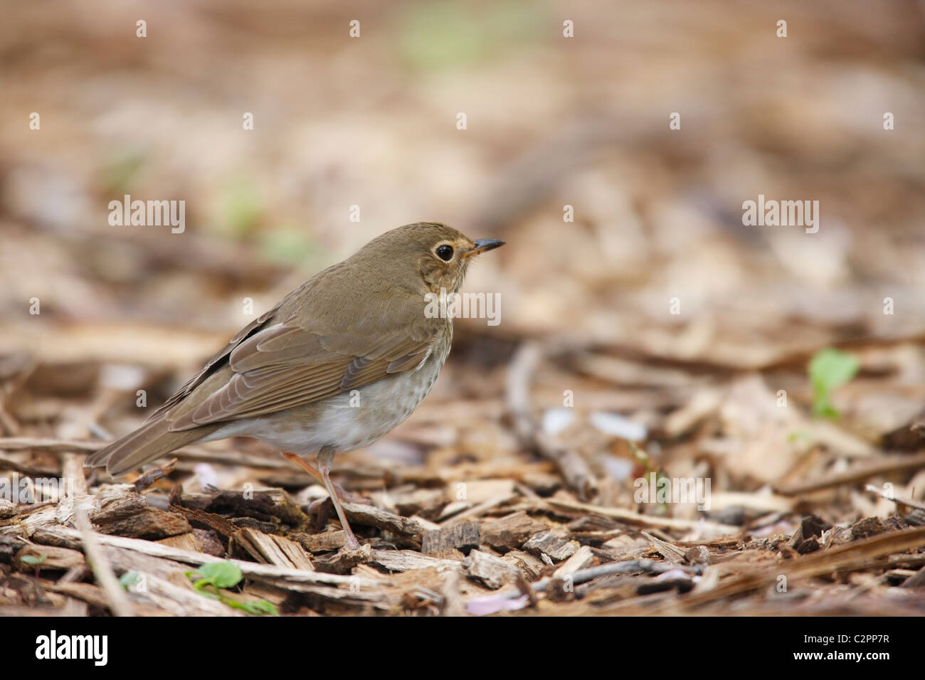 Swainson's Thrush (Catharus ustulatus swainsoni), Olive-backed subspecies, a Spring migrant to New York City's Central Stock Photo