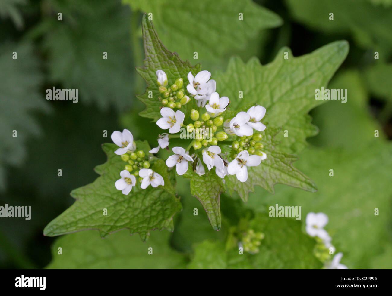 Jack by the Hedge or Garlic Mustard, Alliaria petiolata, Brassicaceae Stock Photo