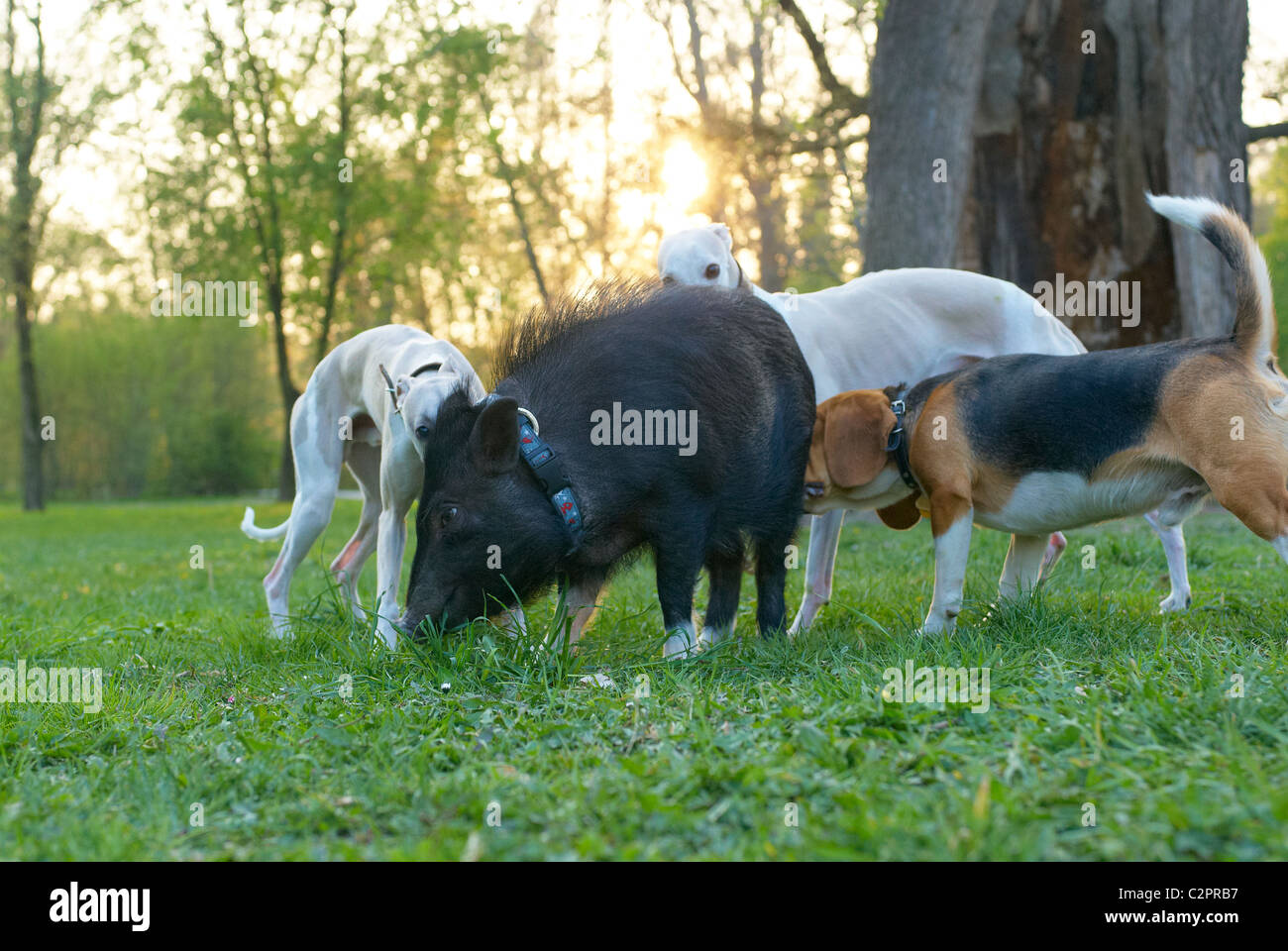 Pot Belly Pigs Stock Photos Amp Pot Belly Pigs Stock Images