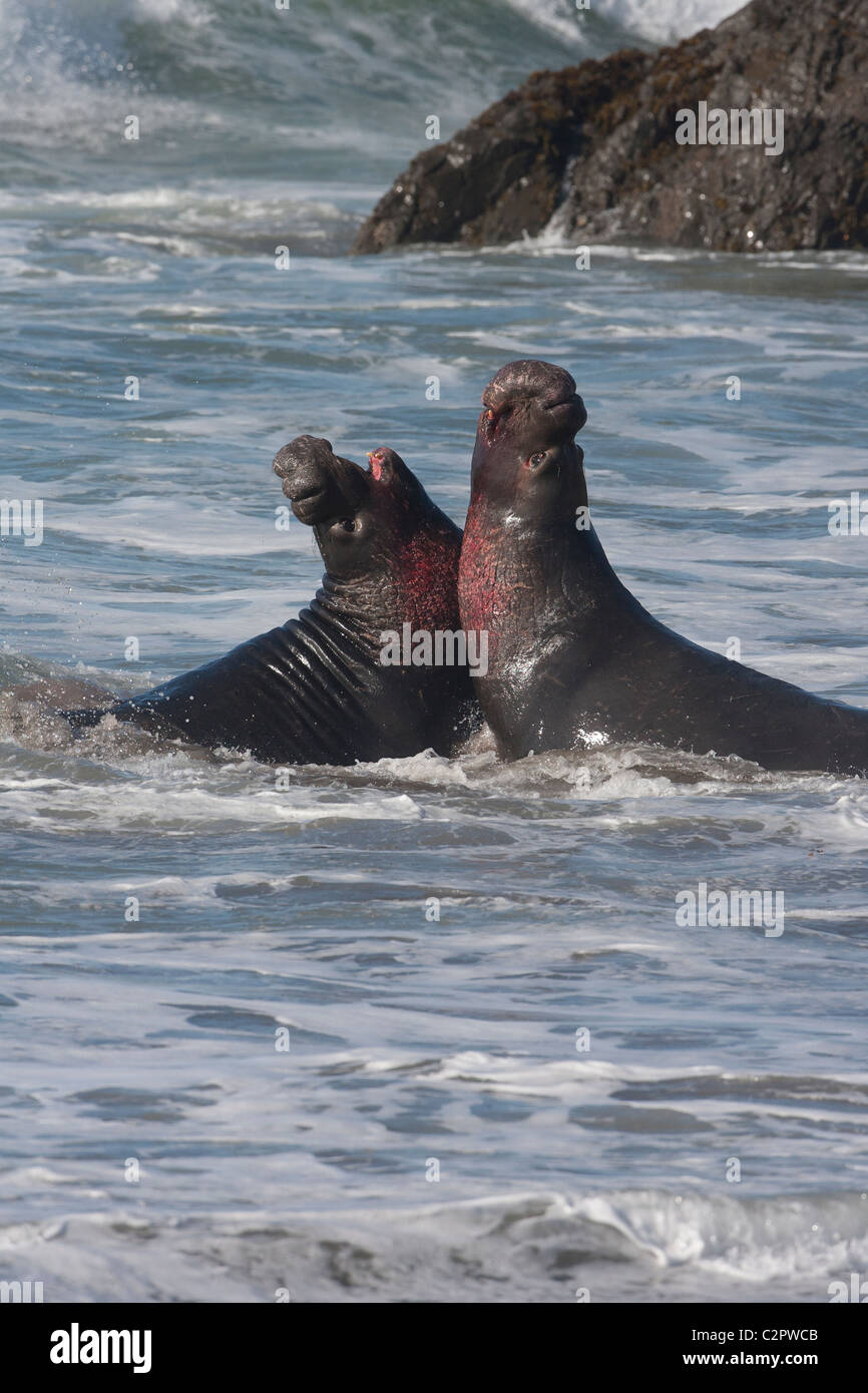 Bloody Elephant Seal Bulls Fight - Stock Image