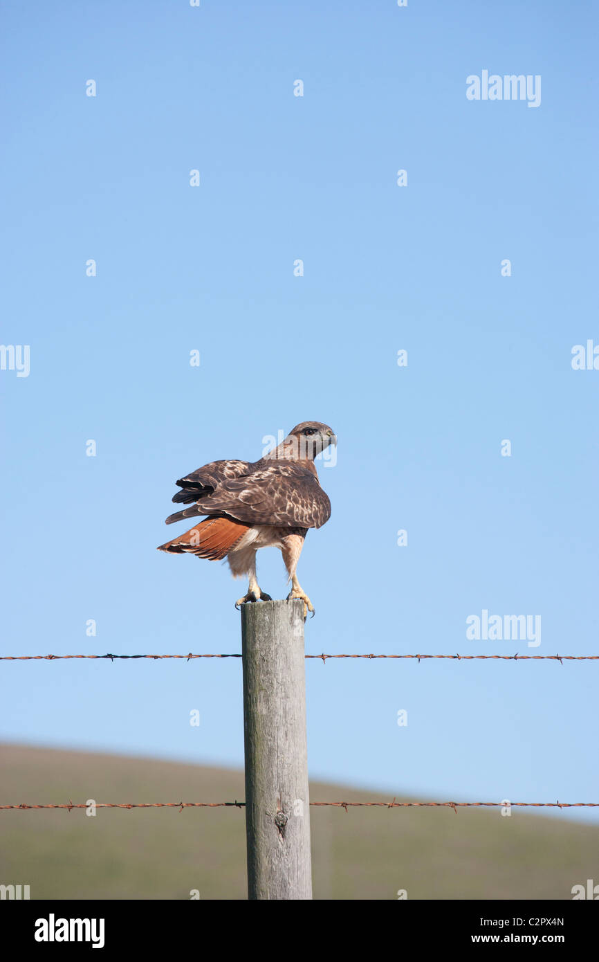 Red tailed Hawk on a Fence Post - Stock Image