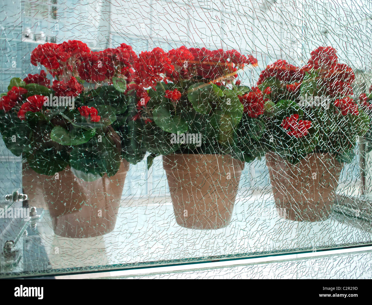 Cracked Glass With Geraniums - Stock Image