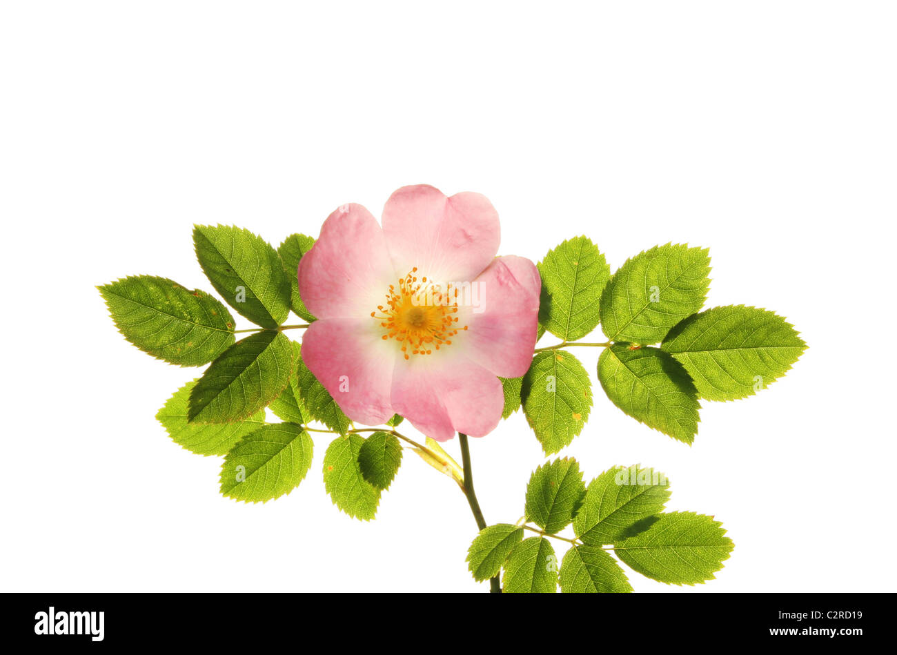 Dog rose flower and leaves isolated against white - Stock Image