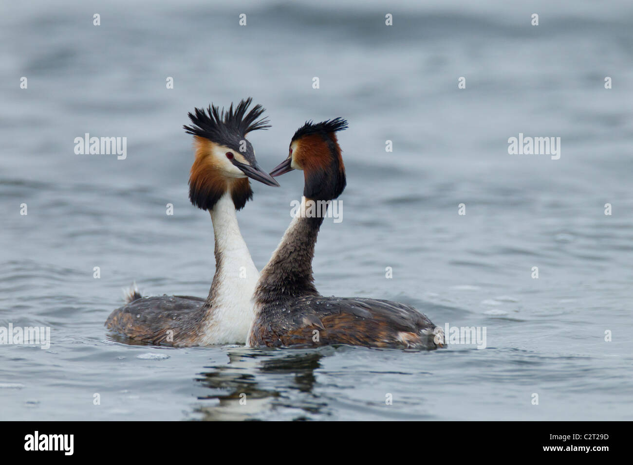 Great Crested Grebes. Podiceps cristatus (Podicipedidae) Pair Courtship - Stock Image