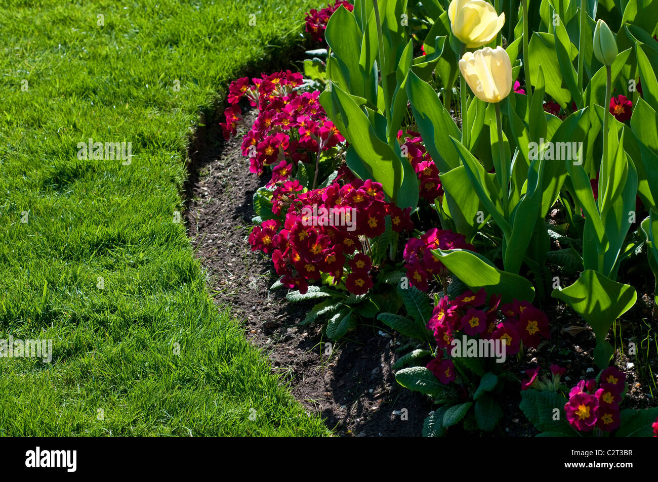 Border with Tulip IVORY FLORADALE and Primula CRESCENDO RED (Crescendo Series) - Stock Image