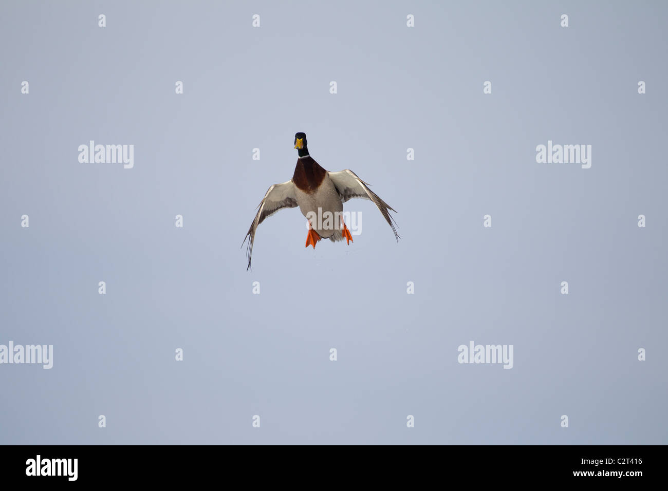 wings cupped stock photos wings cupped stock images alamy