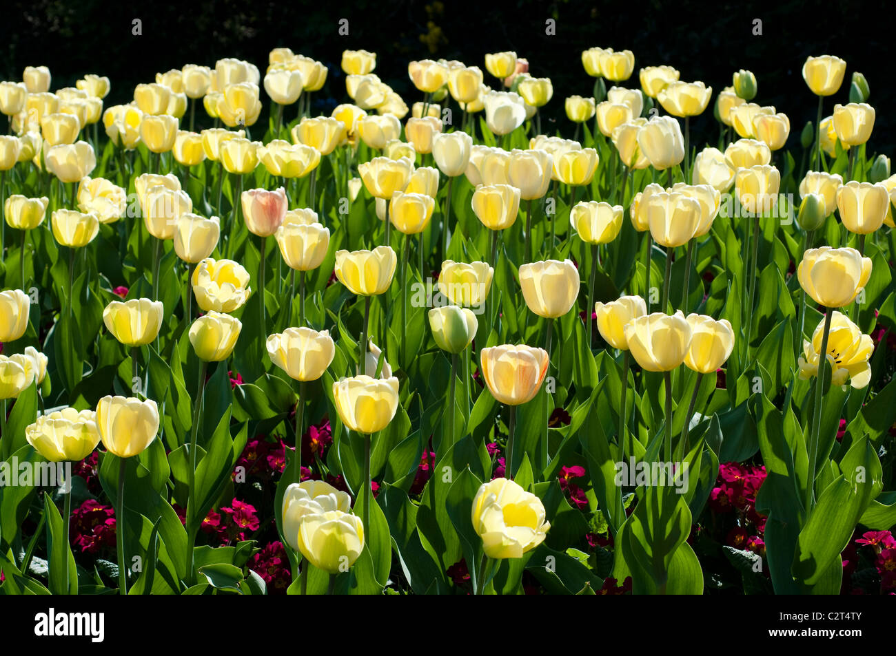 Tulip IVORY FLORADALE and Primula CRESCENDO RED (Crescendo Series) - Stock Image