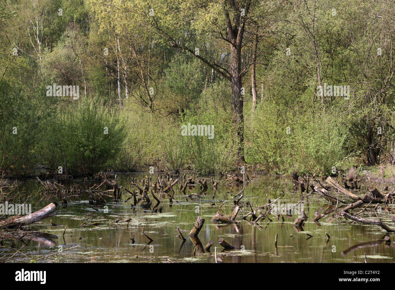 Flooded woodland lake tree stumps in water - Stock Image