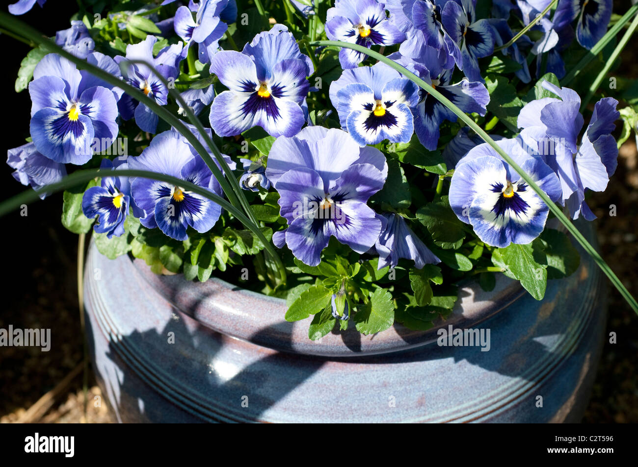 Purple pansies in a container - Stock Image