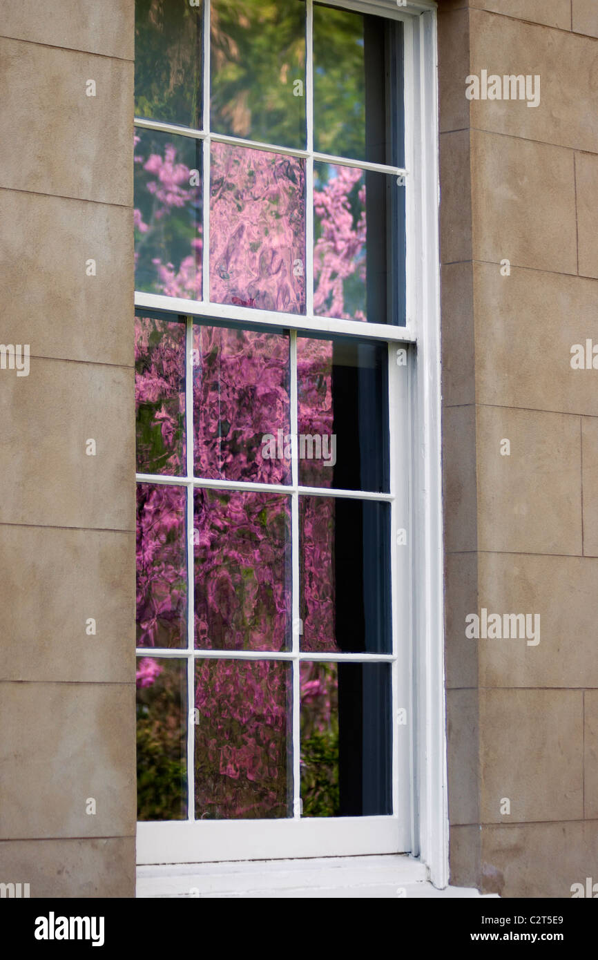 A window reflects a blooming rhododendron bush in spring. - Stock Image