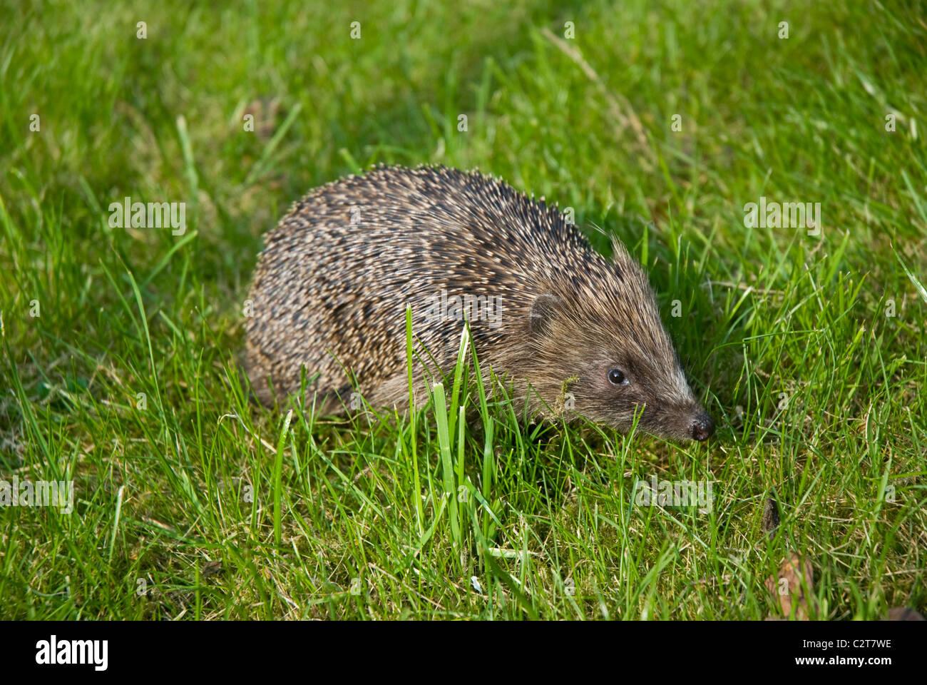 A hedgehog in an English garden - Stock Image