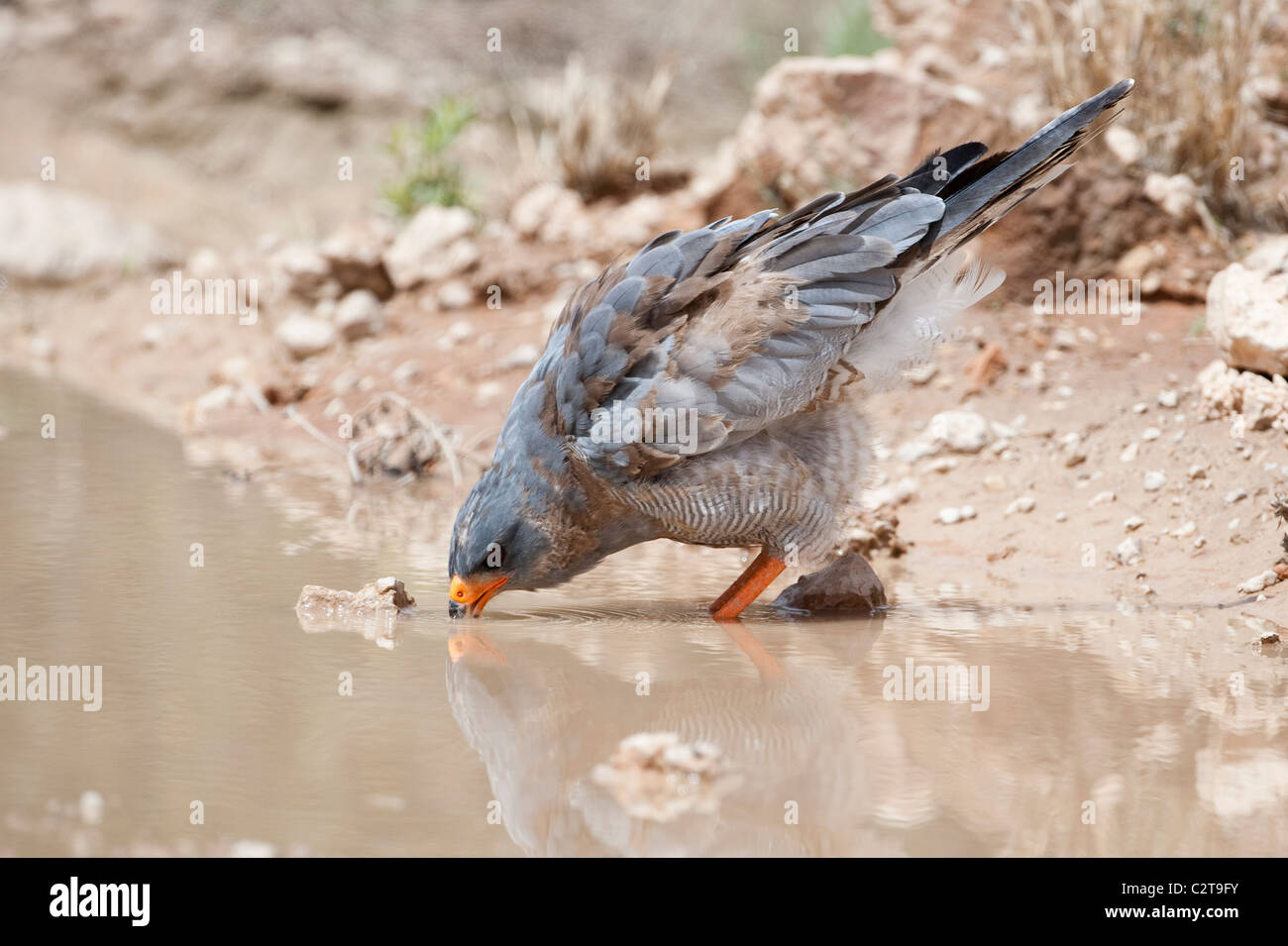 Southern Pale Chanting Goshawk, Melierax canorus, drinking, Kgalagadi Transfrontier Park, South Africa - Stock Image