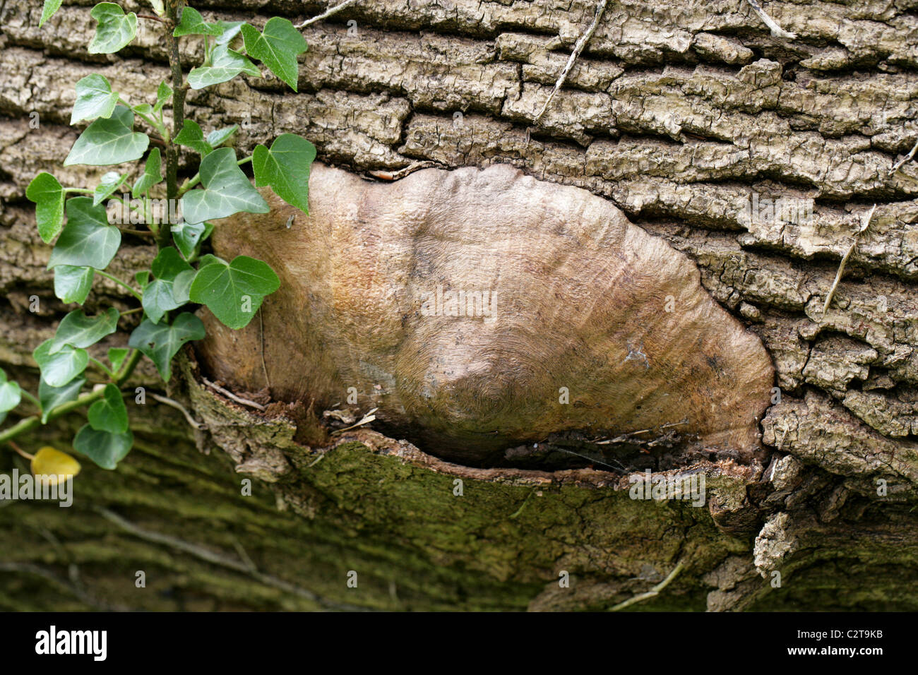Unusual Raised Feature with Markings on a Dead Ash Tree Possibly Caused by the Burrowing Larva of the Clearwing - Stock Image