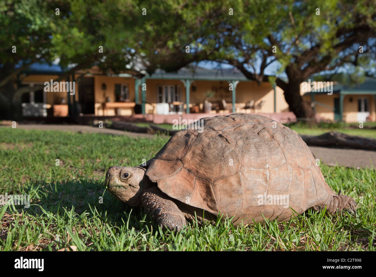 Leopard (Mountain) Tortoise, Geochelone pardalis, Samara private game reserve, Eastern Cape, South Africa - Stock Image