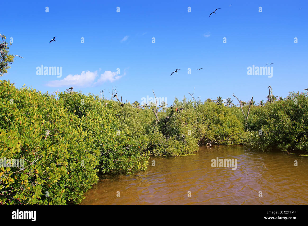 frigate bird reproduction in Contoy island mangroves Quintana Roo - Stock Image