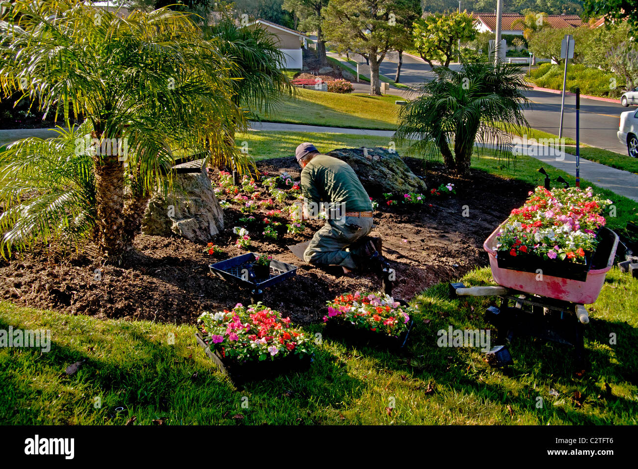 In bright morning light a Hispanic gardener plants a wheelbarrow full of flowers at a suburban Laguna Niguel, CA, - Stock Image