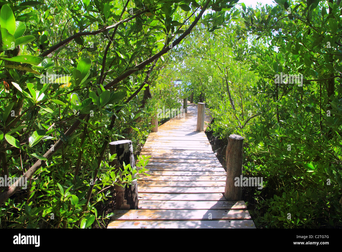 mangrove forest walkway jungle Quintana Roo mexico - Stock Image