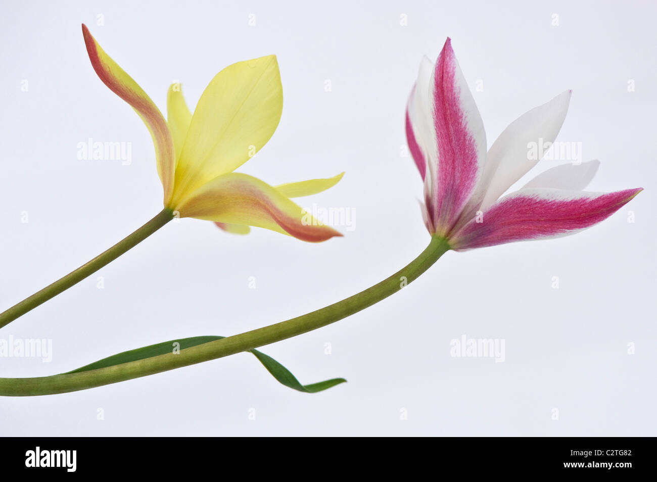 Tulip - Peppermint Stick and Tulip Tarda - Stock Image