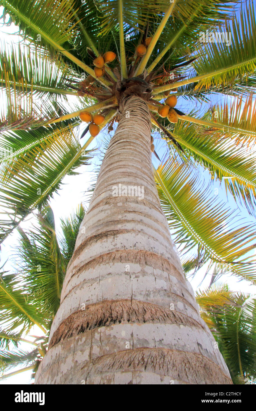 Coconuts palm tree perspective view from floor high up - Stock Image