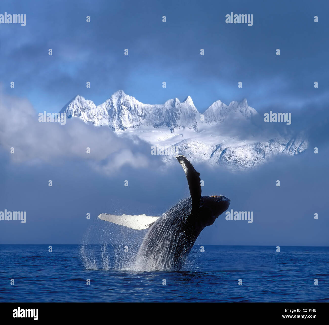 Humpback Whale Breaches in Clearing Fog SE AK Spring w/Mendenhall Towers background Composite - Stock Image
