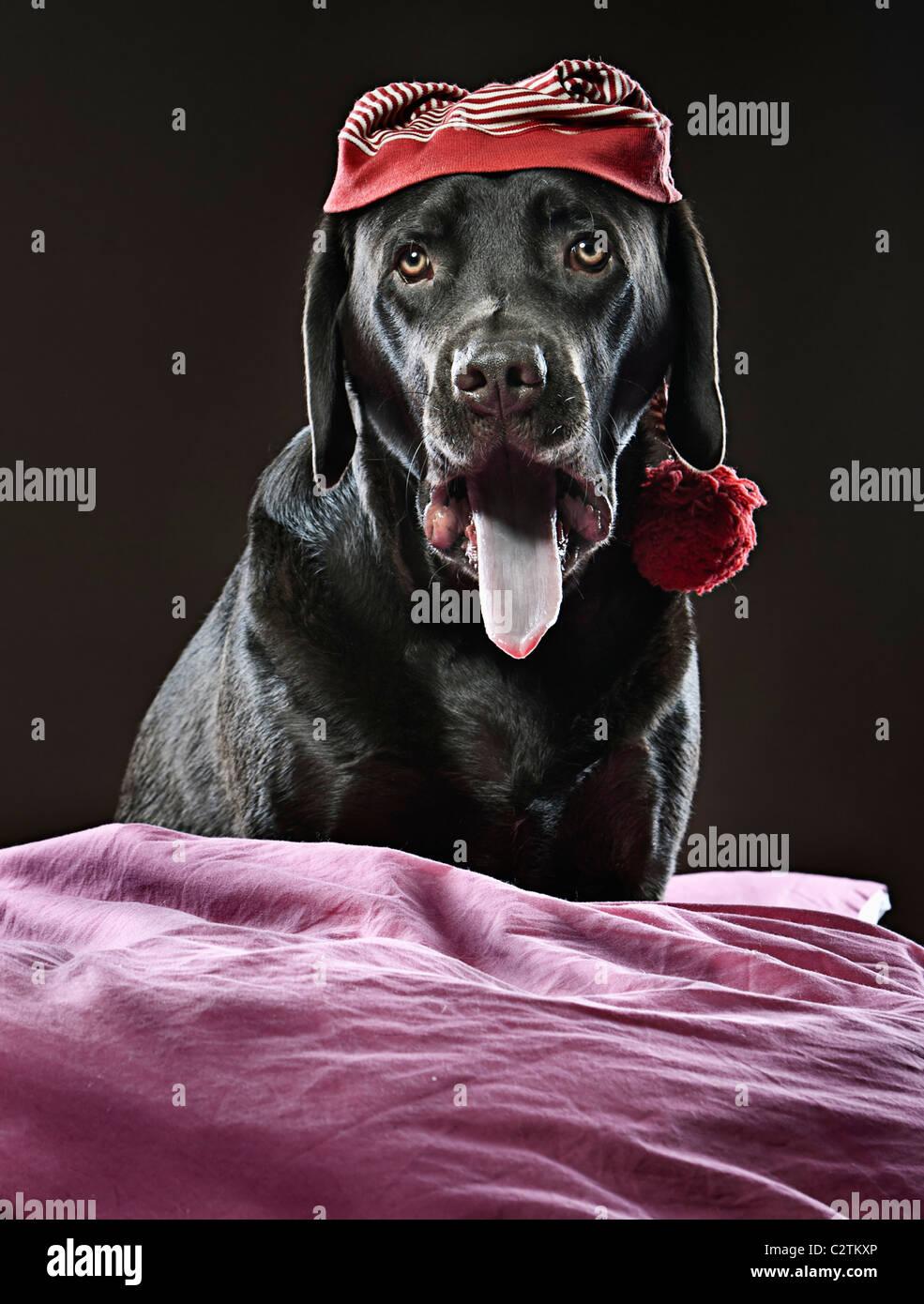 Shot of a Chocolate Labrador in Sleeping Cap, Yawning - Stock Image