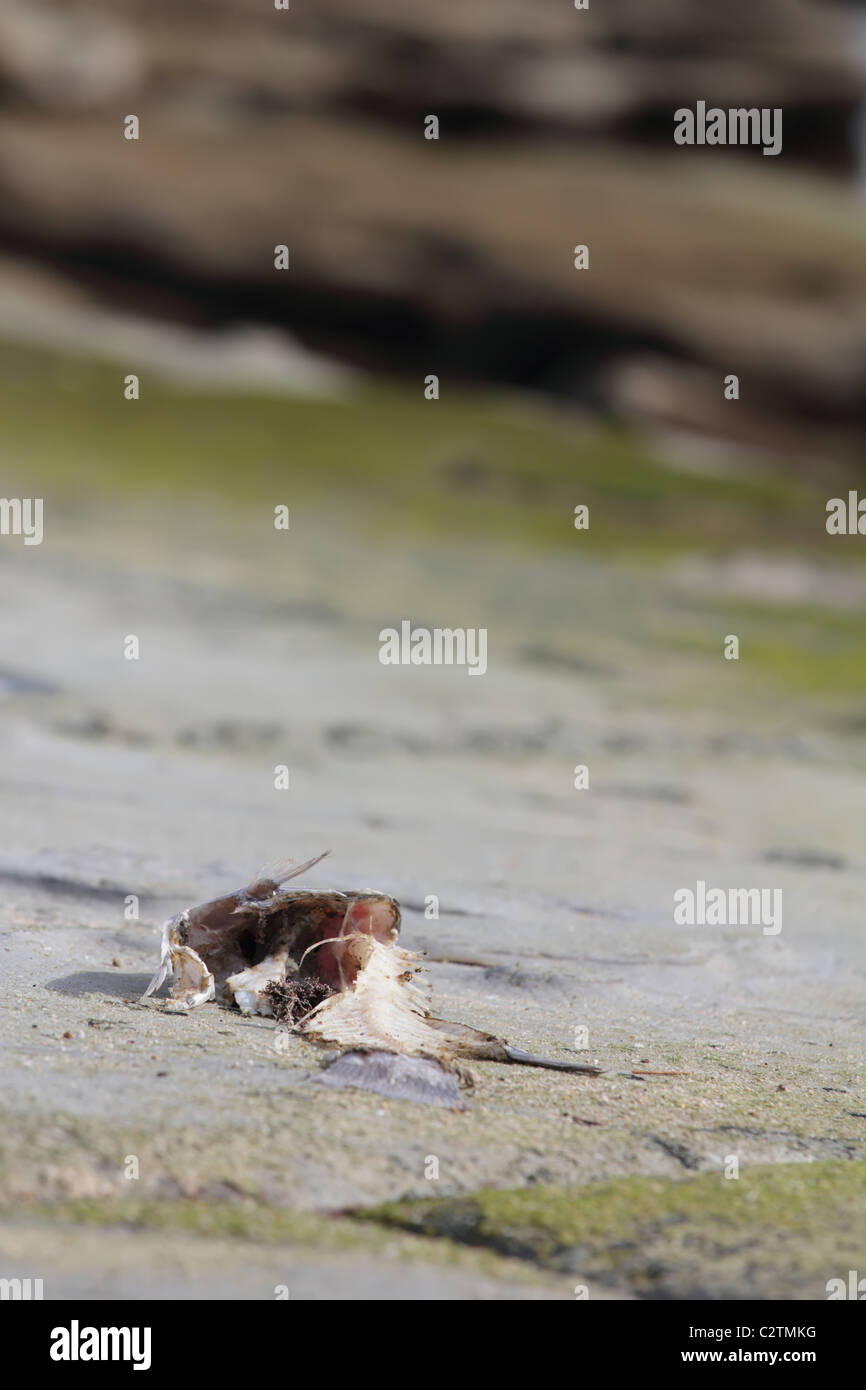 Closeup on Fish Decaying on Rock at the Beach - Stock Image