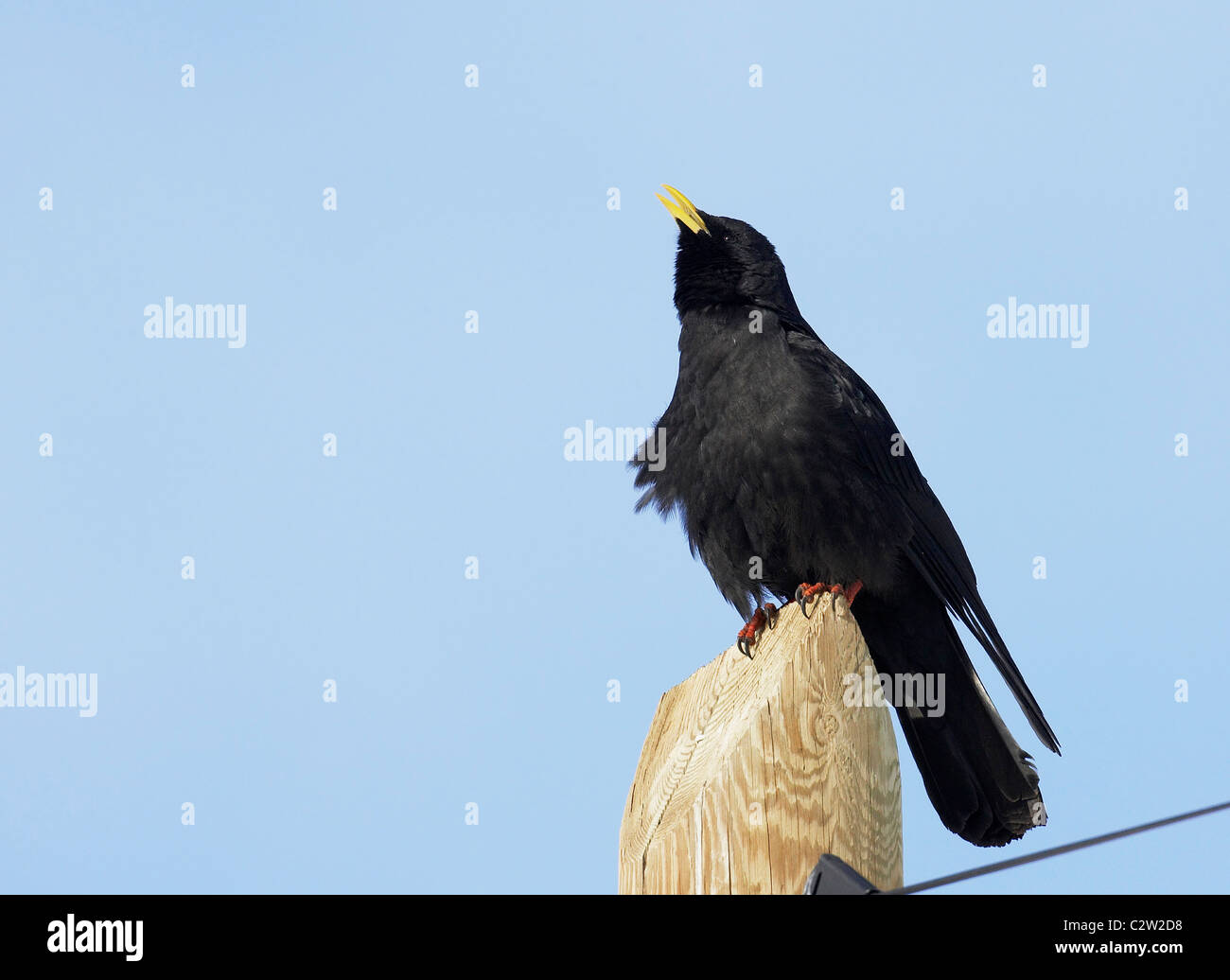 Yellow-billed Chough, Alpine Chough (Pyrrhocorax graculus) singing from a wooden post. Stock Photo