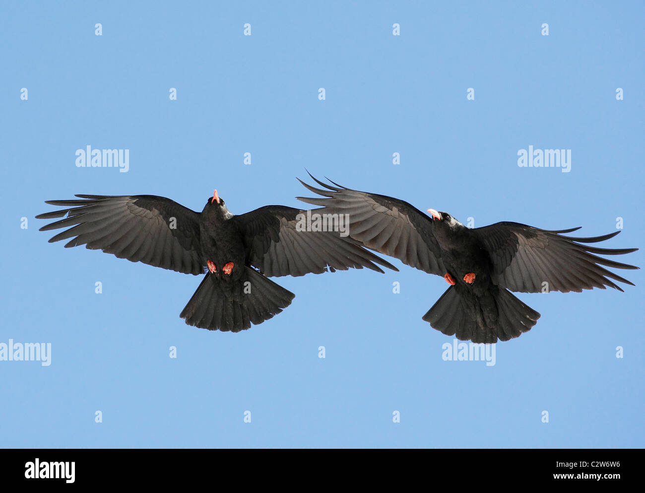 Red-billed Chough (Pyrrhocorax pyrrhocorax). Two individuals in flight. - Stock Image