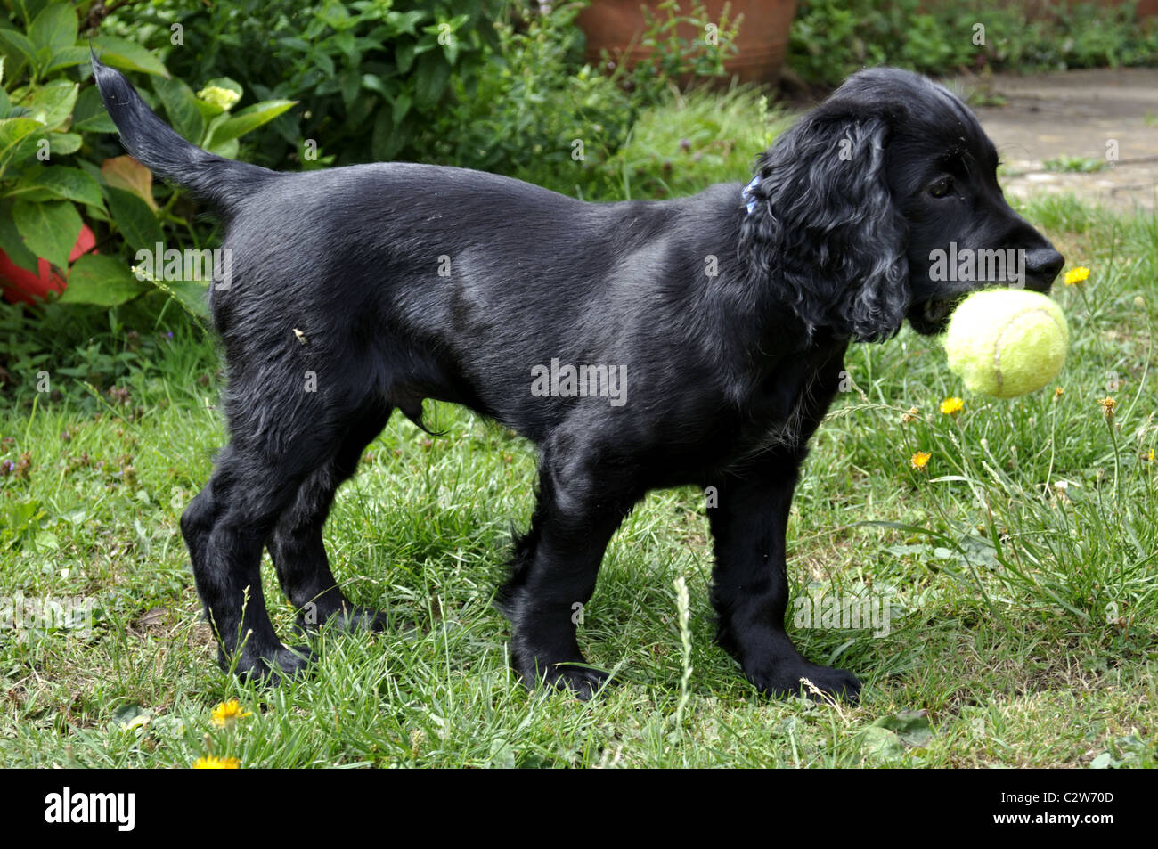 Black Cocker Spaniel Puppy Playing Stock Photo 36204349
